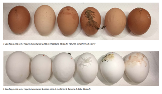 10 common eggshell quality problems